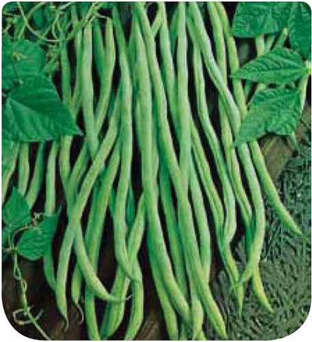 Haricot mangetout rames merveille de description vari t for Site de jardinerie en ligne