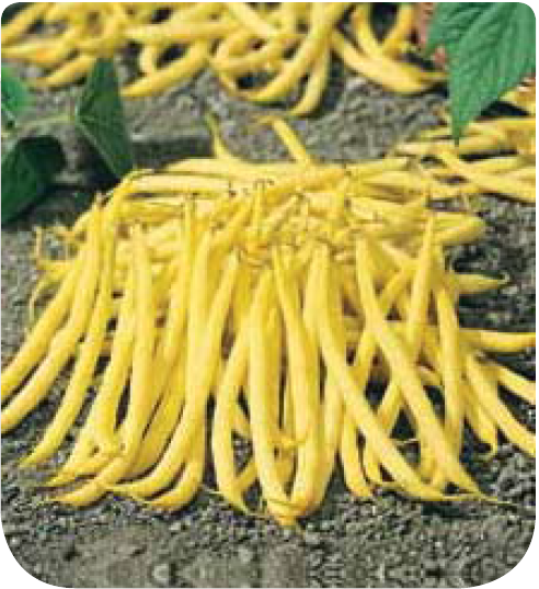 Cote jardin haricot nain mangetout goussdor for Site jardinerie en ligne