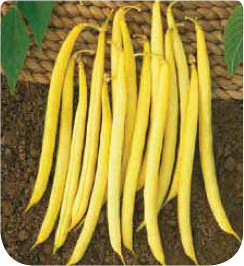 Cote jardin haricot nain mangetout victor for Jardineries en ligne
