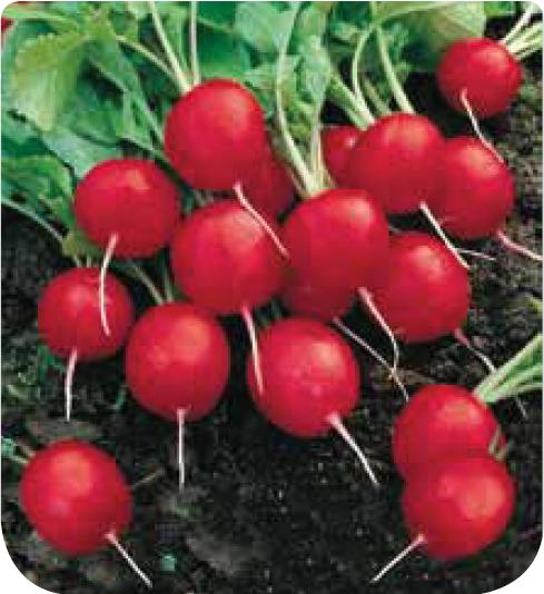Jardinerie en ligne cotejardin com radis rond carlate for Jardineries en ligne