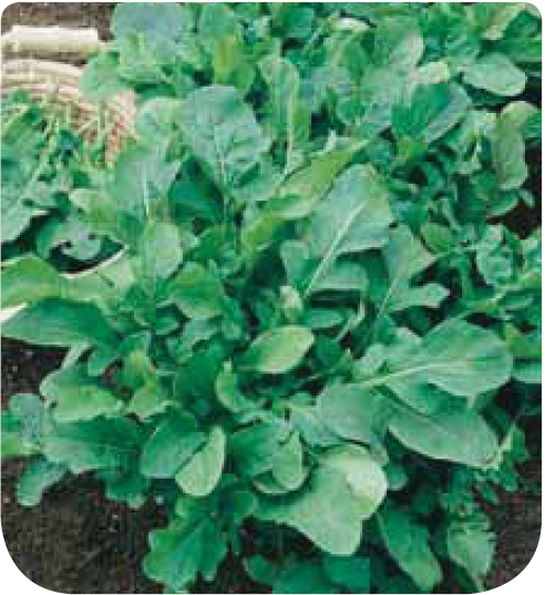 En ligne roquette cultiv e for Jardineries en ligne