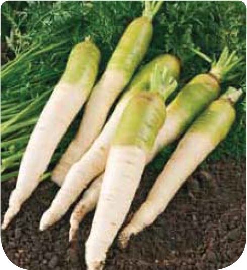Carotte fourragere blanche collet vert c t for Site de jardinerie en ligne