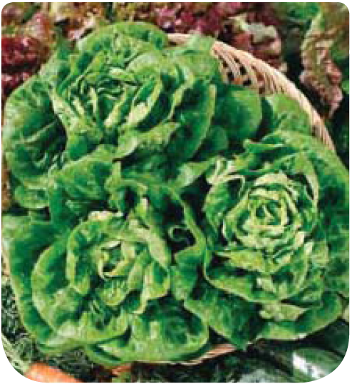 Cote jardin jardinerie en ligne laitue sucrine for Jardinerie en ligne