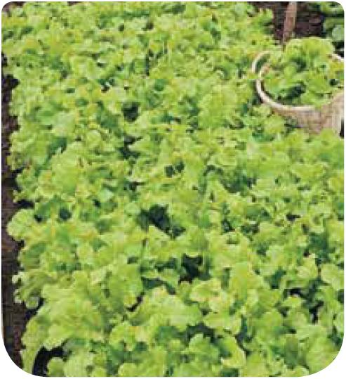 Cote jardin laitue feuille de chene for Jardinerie en ligne