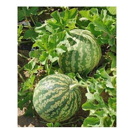 Past que confire graines chaires vertes cote jardin for Jardinerie en ligne