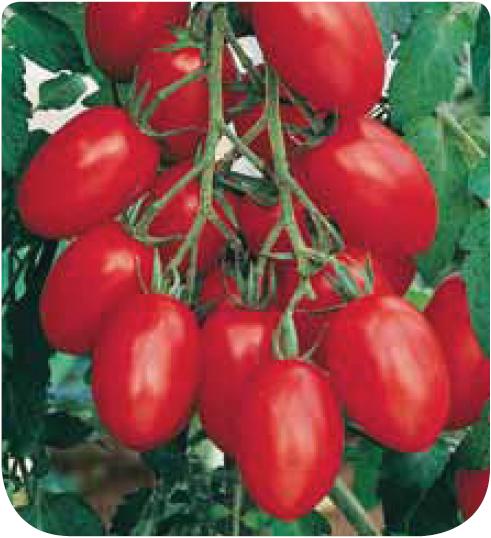 Cote jardin jardinerie en ligne tomate roma for Jardineries en ligne