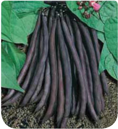 Cote jardin haricot nain purple queen jardinerie en ligne for Jardineries en ligne