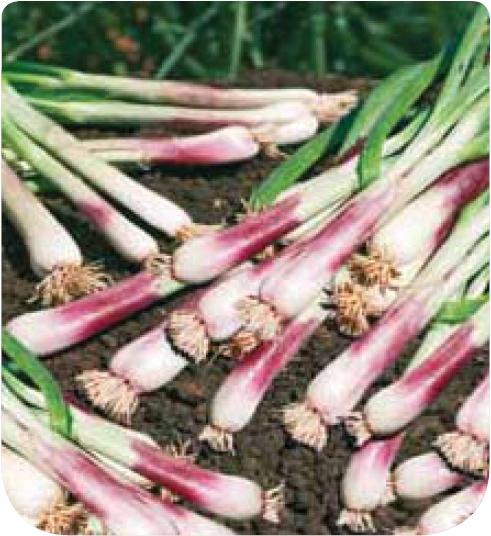 Cote jardin jardinerie en ligne ciboule rouge for Jardin en ligne
