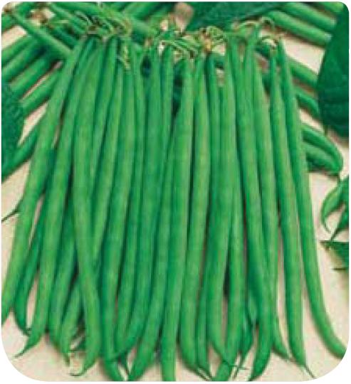 Cote jardin haricot nain filet sans fil skipper for Jardinerie en ligne